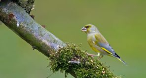 greenfinch 免版税图库摄影