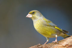 Greenfinch Royalty-vrije Stock Afbeelding
