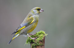 Greenfinch Royalty-vrije Stock Foto
