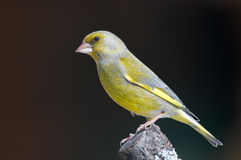 Greenfinch Stock Foto