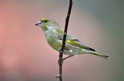 Greenfinch royalty-vrije stock afbeeldingen