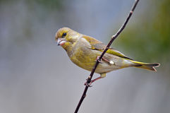 Greenfinch stock afbeeldingen
