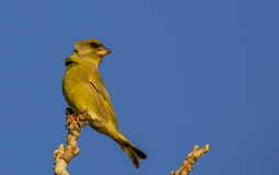 Greenfinch Royaltyfri Foto