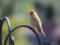 Greenfinch Stock Afbeelding