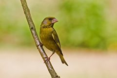 greenfinch Obraz Royalty Free