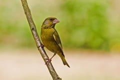 Greenfinch Imagen de archivo libre de regalías