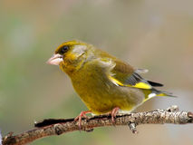 Greenfinch photo libre de droits