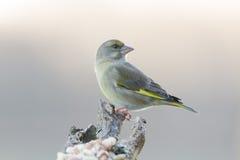 Greenfinch Fotografering för Bildbyråer