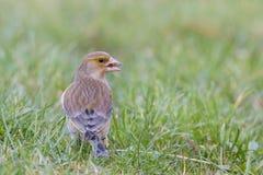 Greenfinch Royaltyfri Fotografi