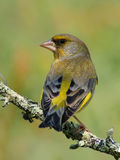 Greenfinch photographie stock