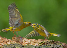 Greenfinch aggressive attitude Royalty Free Stock Images