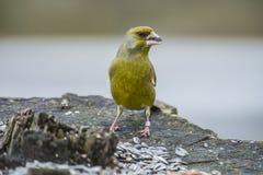 Greenfinch anellato (clori del carduelis) Fotografia Stock