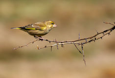 Greenfinch anglais Photos libres de droits