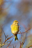 Greenfinch in autumn garden Stock Photos