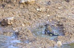 Greenfinch badning Royaltyfri Foto