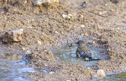 Greenfinch Bathing. Greenfinch (Carduelis chlorine) is bathing in puddle Royalty Free Stock Photo