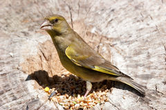 greenfinch bela Obrazy Stock