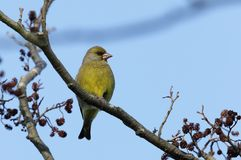 Greenfinch bird. Stock Photos