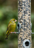 Greenfinch on bird feeder Royalty Free Stock Photo