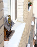 Greenfinch bird sat on the feeder Stock Photography
