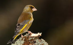 Greenfinch bird. Stock Photo
