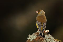 Greenfinch bird. Royalty Free Stock Photo