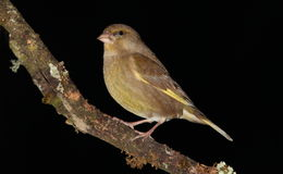 Greenfinch bird. Royalty Free Stock Photography