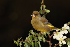 Greenfinch bird. Stock Images