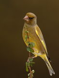 Greenfinch bird. Stock Photography
