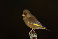 Greenfinch bird. Royalty Free Stock Image