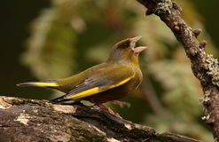 Greenfinch bird. Royalty Free Stock Images