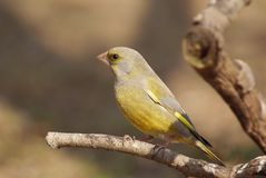 Greenfinch on branch Stock Photo