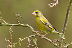 Greenfinch on a branch Royalty Free Stock Images
