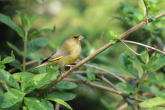 Greenfinch on a branch Stock Image