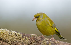 Greenfinch on a branch Royalty Free Stock Image