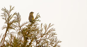Greenfinch on bush Stock Image