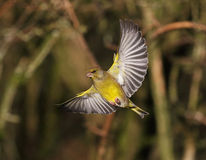 Greenfinch Royalty Free Stock Photo