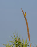 Greenfinch on cane flowers Stock Photography