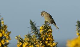 Greenfinch Carduelis虎尾草属在开花的金雀花灌木栖息 图库摄影