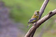 Greenfinch (Carduelis虎尾草属) 免版税库存图片