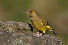 Greenfinch - Carduelis虎尾草属 库存图片