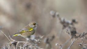 Greenfinch (Carduelis虎尾草属) 库存图片
