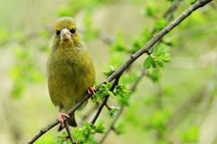 Greenfinch (Carduelis chloris). A greenfinch sitting on the branch of a bush looking directly at the camera stock images