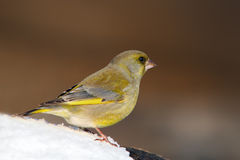 Greenfinch - Carduelis chloris Stock Images