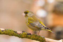 Greenfinch (Carduelis chloris)2 Royalty Free Stock Photo