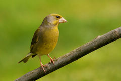 Greenfinch  Carduelis chloris Stock Images