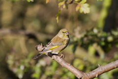 Greenfinch (Carduelis chloris) Royalty Free Stock Photos