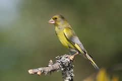 Greenfinch (Carduelis chloris). Adult male Greenfinch perched on a branch with green blured background Stock Images