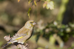 Greenfinch (Carduelis chloris) Fotografia Royalty Free