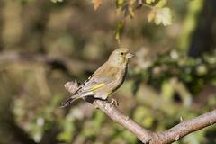 Greenfinch (Carduelis chloris) Zdjęcia Stock